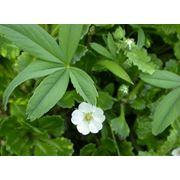 Травы лекарственные Лапчатка белая (перстач пятипал) для лечения щитовидной железы и других заболеваний фото