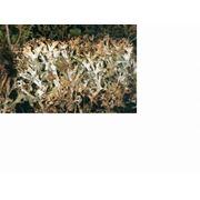Исландский мох или Цетрария Исландская фото