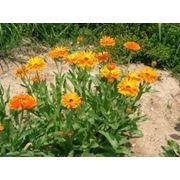Травы лекарственные: календула эхинацея расторопша мелисса фото