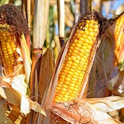Семена кукурузы гибрида Гран 6 (ФАО 300)