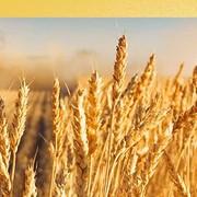 Озимая пшеница (5, 4, 3-ий класс) фото