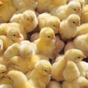 Цыплята, куры, птицеводство и рыбоводство, сельское хозяйство. фото