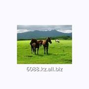 Лошадь племенная чистокровной верховой, английской породы фото