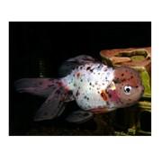 Золотая рыбка Оранда. фото