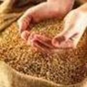 Зерно, зерновые, Украина, Херсон фото