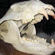 Клыки медведя фото