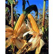 Кукурузы семена фото