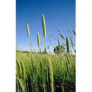 Канареечник - урожай 2012 года - возможен экспорт фото