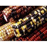 Кукуруза зерновая и фуражная - семена