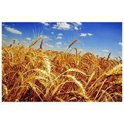 Пшеница озимая Украина Херсонская область фото