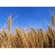 озимая пшеница 1 репродукция шестопаловкакуяльник. антоновкасмуглянка.колумбия. фото