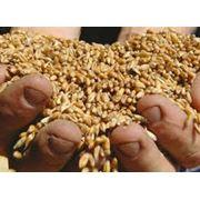 Продам пшеницу фуражнаю фото