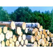 Круглый лес береза 1-2 сорт 18-26см фото