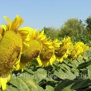 Семена подсолнечника Персей фото