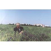 семена Вика Гибридная 85 - суперелитная элитная Национальный стандарт Украины. Занесен в Государственный реестр сортов растений Украины с 1987 года. фото