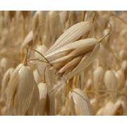 Овес зерно купить Украина фото