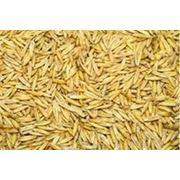 Овес зерно купить зерно продам зерно фото