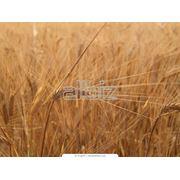 фуражная пшеница кукурузные зерноотходы жито/ячмень фото