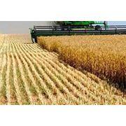 Культуры зерновые Пшеница от производителя оптом. фото