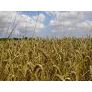 Культуры зерновые продажа опт Украина фото