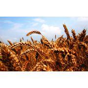 озимая пшеница елита куяльник антоновкашестопаловкасмуглянкаколумбия. фото