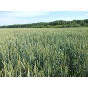 Семена озимыx зерновыx культур фото