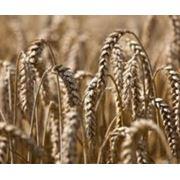 Зерно зерновые купить Украина фото