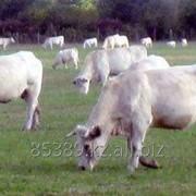 """Создание кормовых площадок для коров породы """"Шароле"""" фото"""
