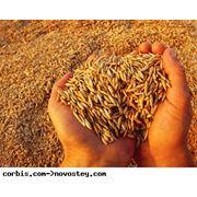 Зерно зерновые фото