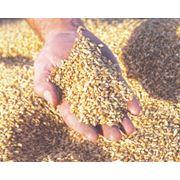 Зерновые (пшеница ячмень подсолнечник) фото