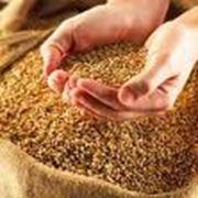 Зерно (зерновые) на экспорт фото