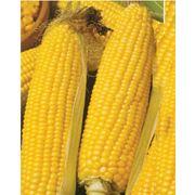 продам семена кукурузы КВ 2704 фото