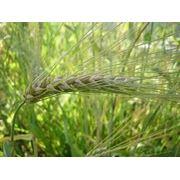 Ячмень озимый. Озимые зерновые культуры. Посевной озимый ячмень семена. фото