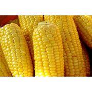 Кукуруза сахарная продажа Луцк Украина фото