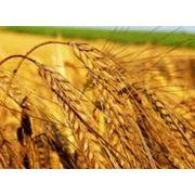 Пшеница купить Украина фото