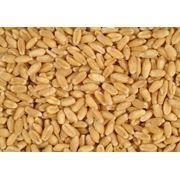 Семена пшеницы купить семя пшеницы у производителя Украина фото