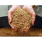 Пшеница Пшеница оптом и в розницу. Пшеница от производителя. Пшеница купить у нас по Украине на экспорт фото