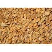 Пшеница зерновые культуры фото