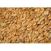 Пшеница зерновые зернобобовые культуры зерно фуражное продам фото