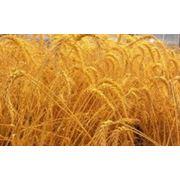 Пшеница зерно купить цена Одесса фото