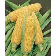 Кукуруза сладкая в початках фото