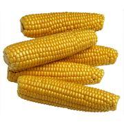 Кукуруза кукуруза оптом Украина фото