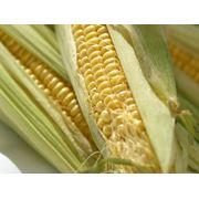 Початки кукурузы сахарной кукуруза в початках свежая и замороженная от производителя фото