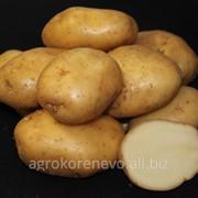Семенной картофель сорт Лорх суперэлита фото