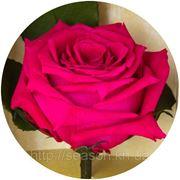 Одна долгосвежая роза FLORICH в подарочной упаковке. Малиновый родолит 5 карат, средний стебель. Харьков фото