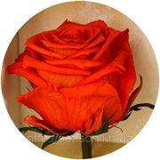 Три долгосвежие розы FLORICH в подарочной упаковке. Огненный янтарь 5 карат, средний стебель. Харьков фото