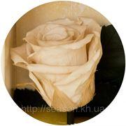 Одна долгосвежая роза FLORICH в подарочной упаковке. Кремовый жемчуг 5 карат, средний стебель. Харьков фото