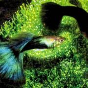 Рыбка аквариумная тропическая
