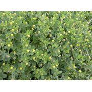 Оптовая торговля семенами люцерны. фото
