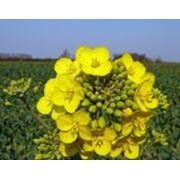 Рапс озимый семена фото
